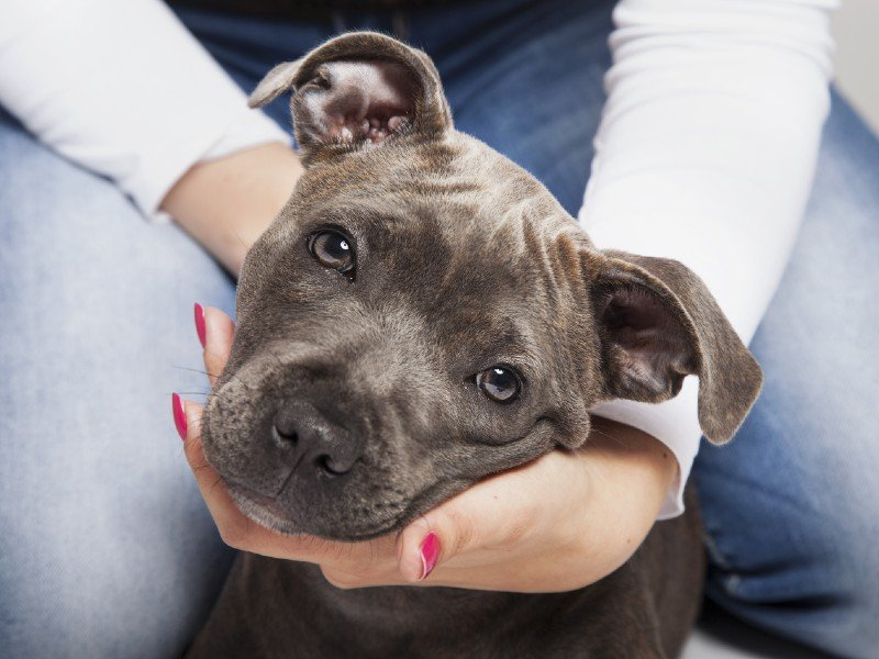 how-long-do-pit-bulls-live-–-a-guide