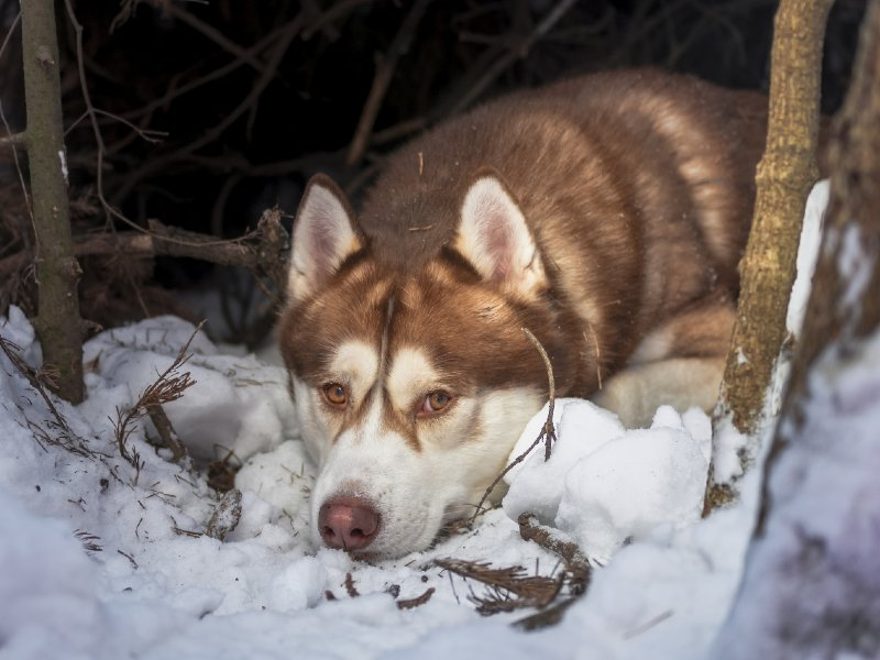 sakhalin-husky-in-history