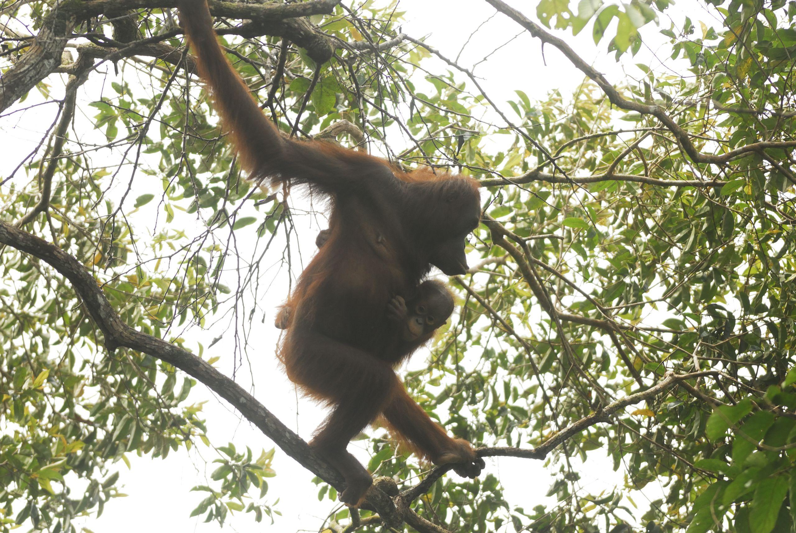 conserving-borneo's-critically-endangered-orangutans