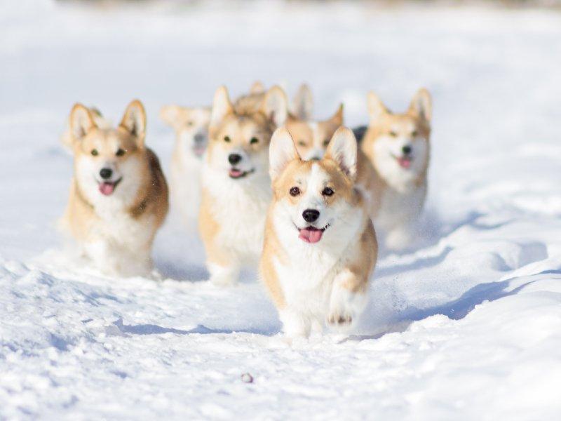 welsh-sheepdog-ultimate-care-guide