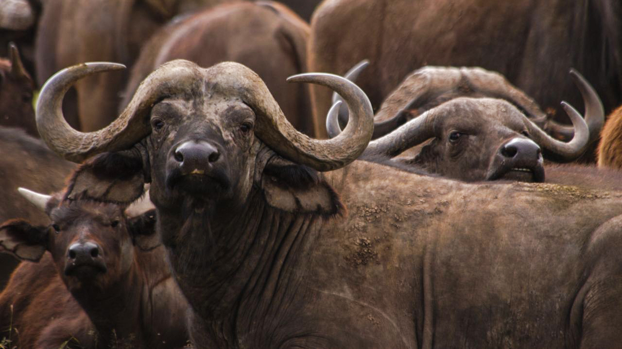 all-about-african-buffalo