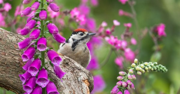 how-to-photograph-great-spotted-woodpeckers