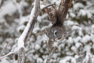 great-grey-owls
