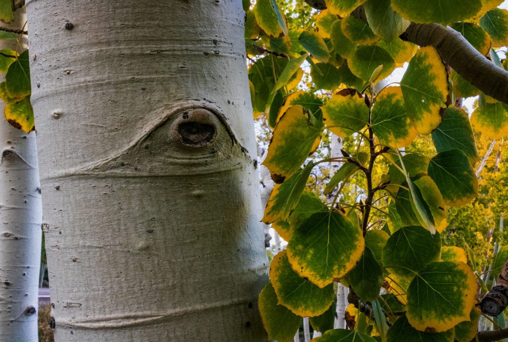 documenting-pando,-the-world's-largest-tree