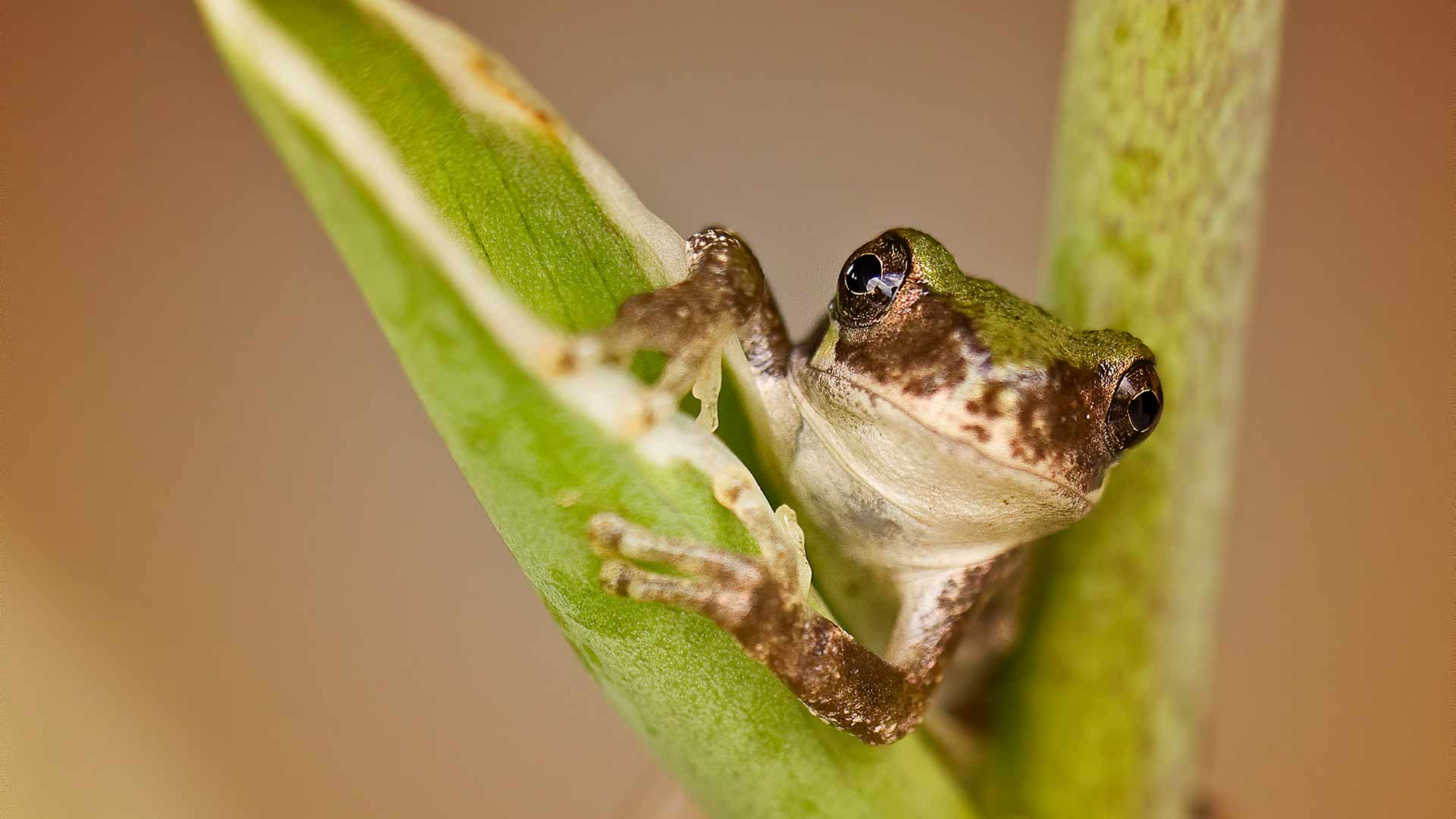 the-gray-treefrog-is-a-master-of-disguise