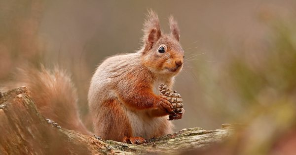 how-to-photograph-red-squirrels