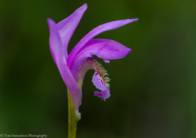bog-orchids