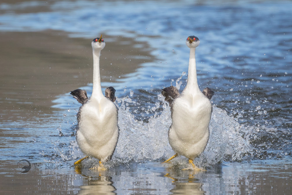 """grebes-""""walk""""-on-water-to-find-a-mate"""