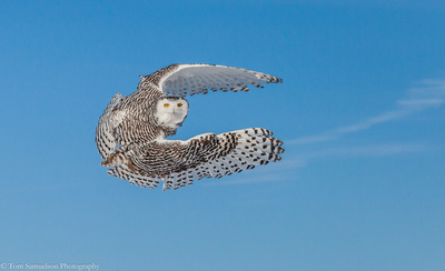 snowy-owls