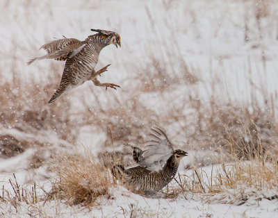 april-prairie-chickens