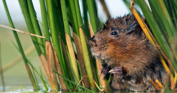 how-to-photograph-water-voles-in-the-uk