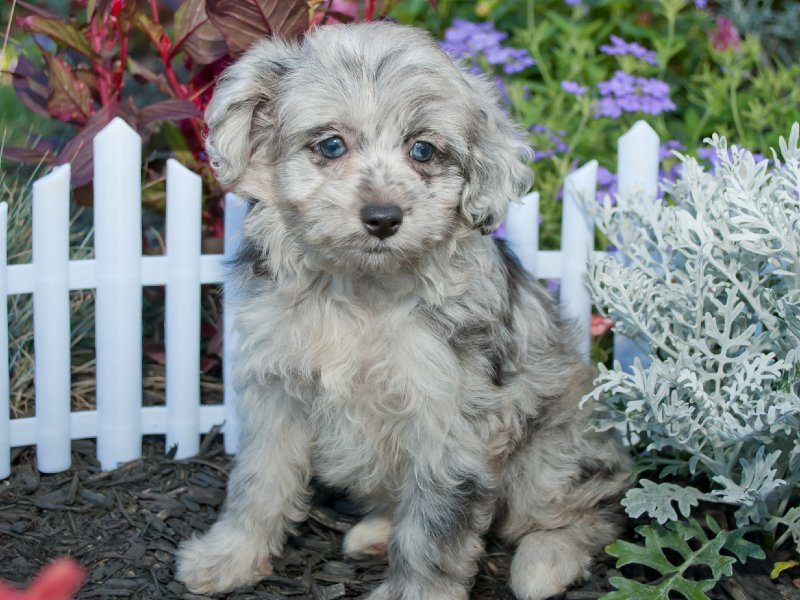 the-ultimate-aussiepoo-pet-guide:-is-an-aussiepoo-the-right-pet-for-you?