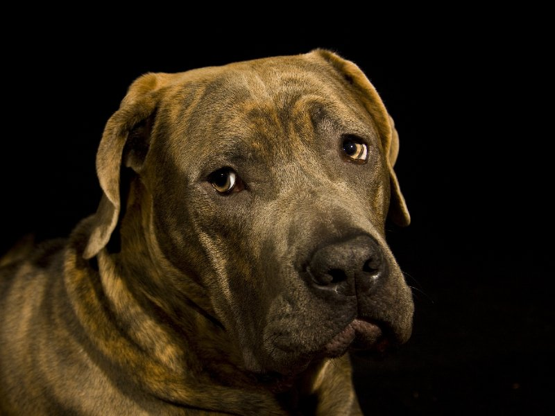bullenbeisser-–-great-grandfather-of-the-bully-breed