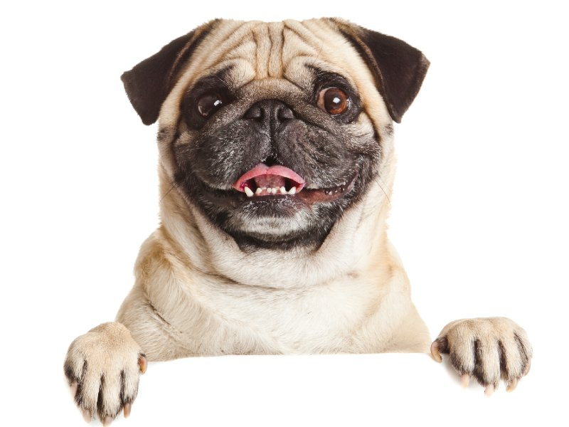 teacup-pug-ultimate-owner's-guide