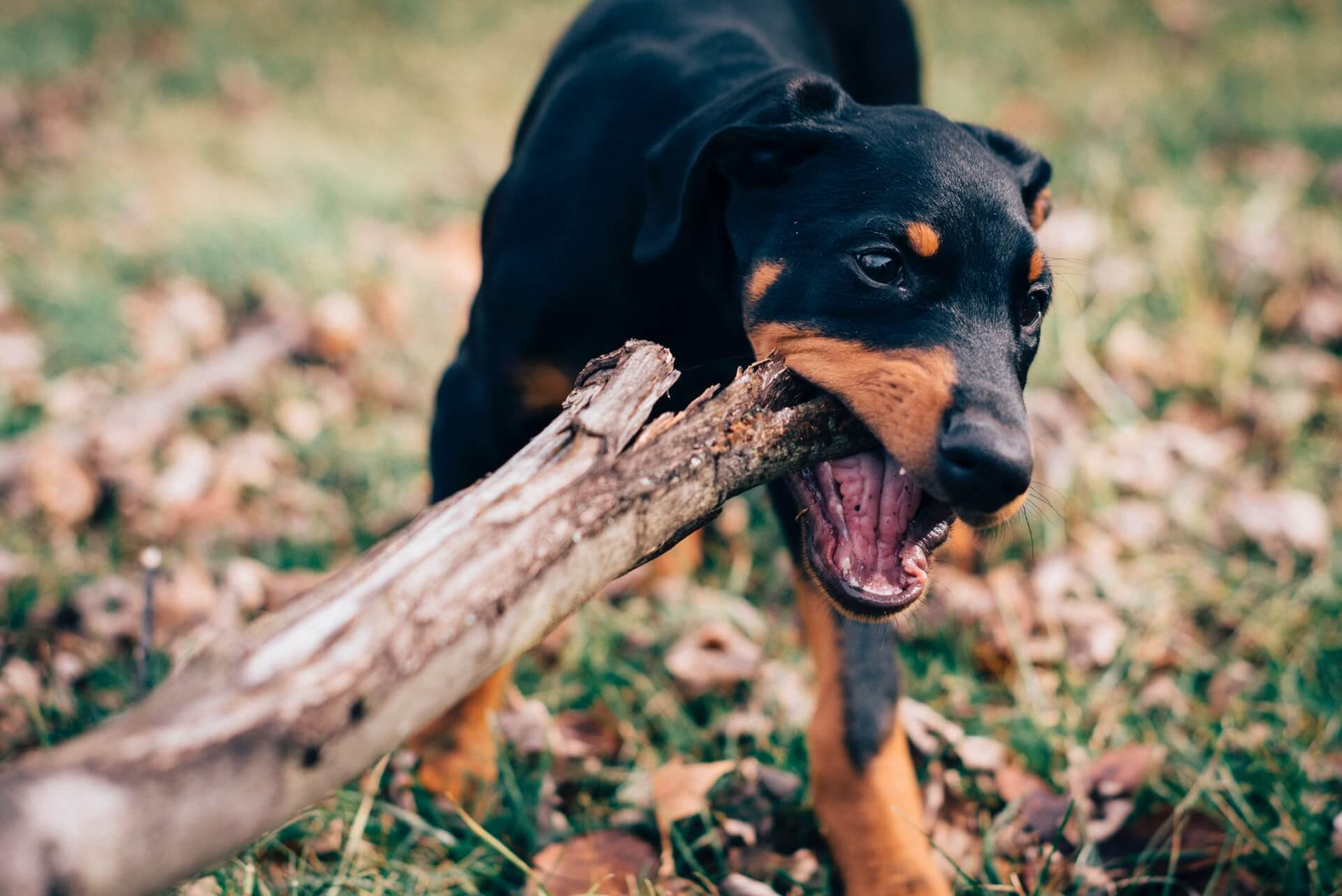 what-to-do-if-your-puppy-chews-on-everything