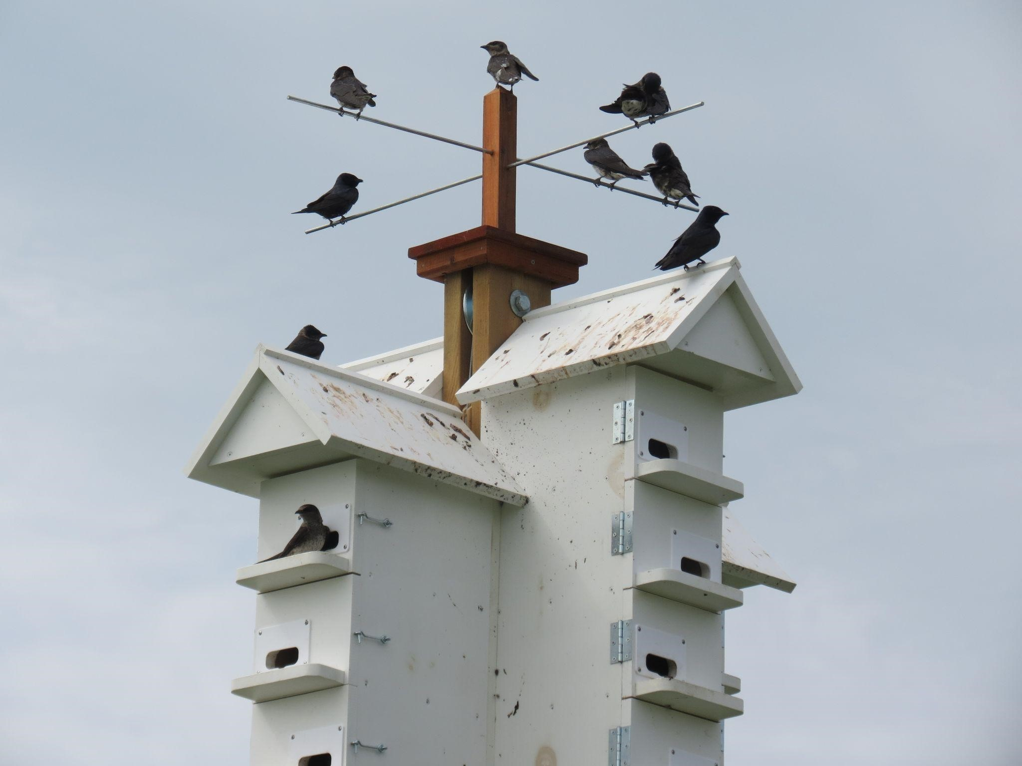 funny-duck-farms-welcomes-purple-martin-hatchlings