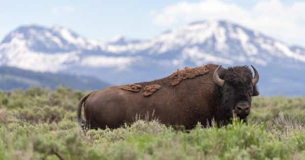 how-to-photograph-bison