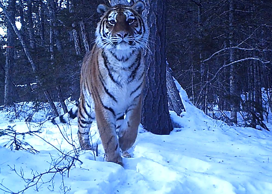 """protecting-tigers-in-the-russian-far-east,-zheny-stoma-is-a-""""ranger's-ranger"""""""