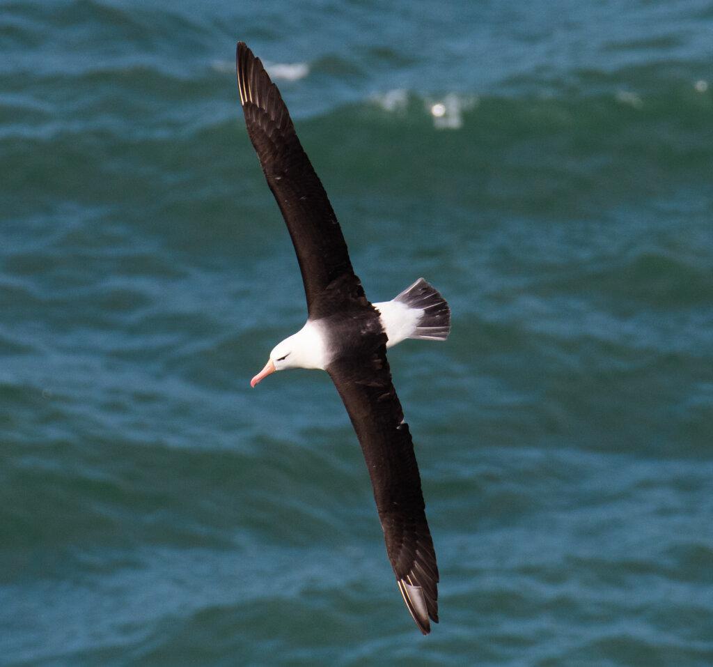 black-browed-albatross-–-by-brian-leecy