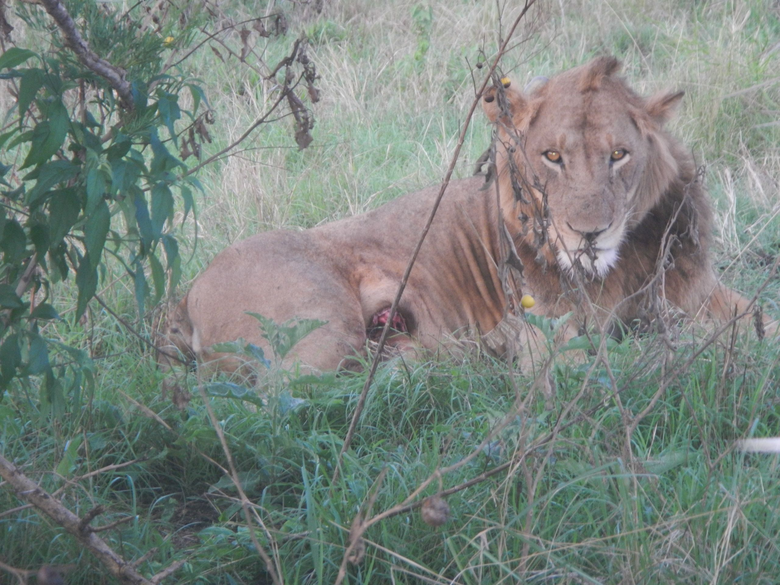 snares-pose-a-grave-threat-to-lions-in-africa-today
