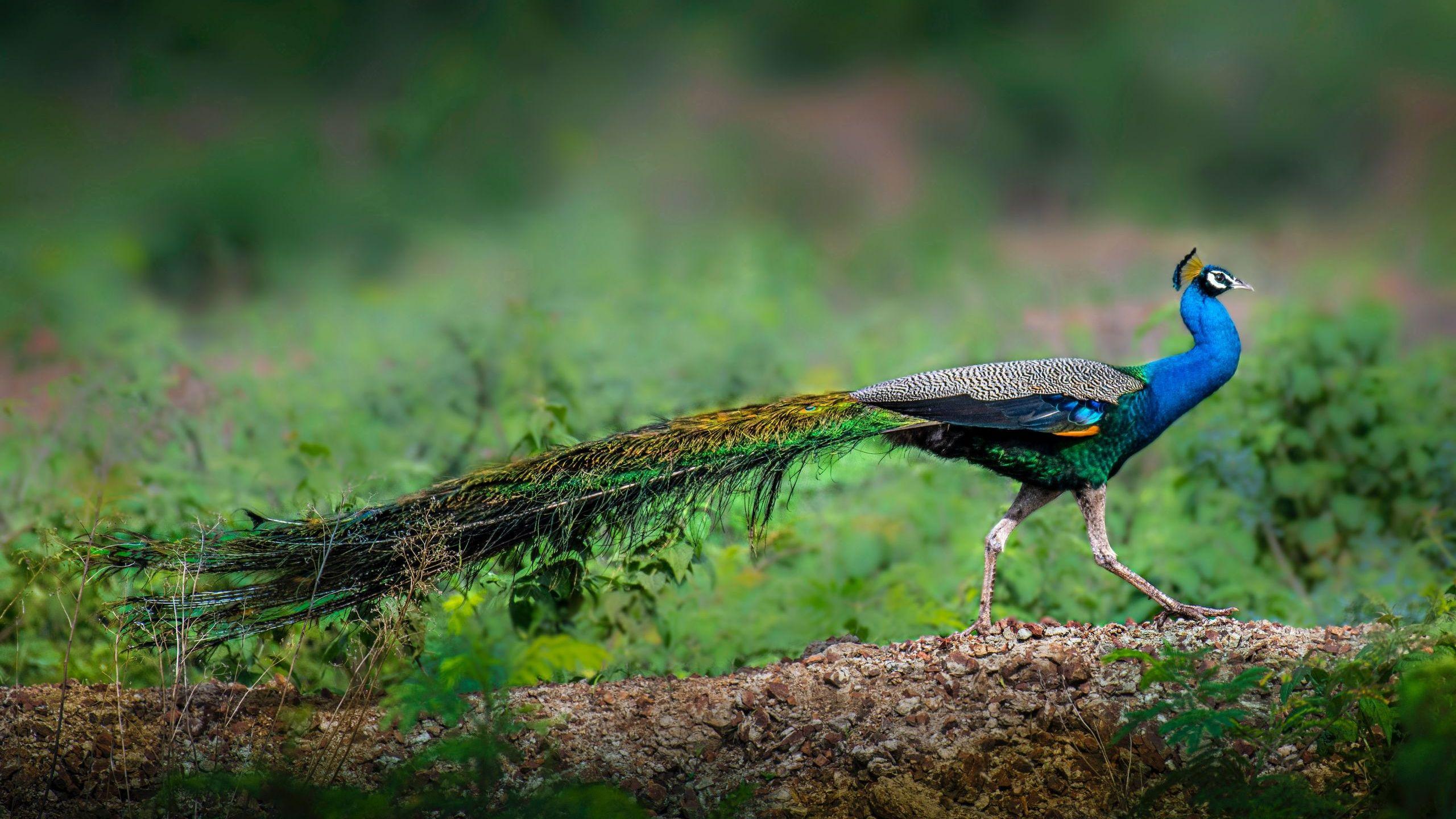peacock-fact-sheet