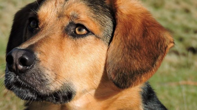 german-shepherd-beagle-mix-–-all-things-dogs