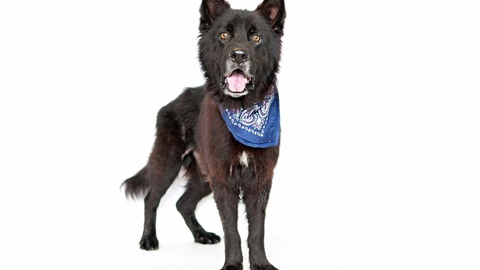 german-shepherd-chow-mix-[chow-shepherd-facts-&-pictures]- -all-things-dogs