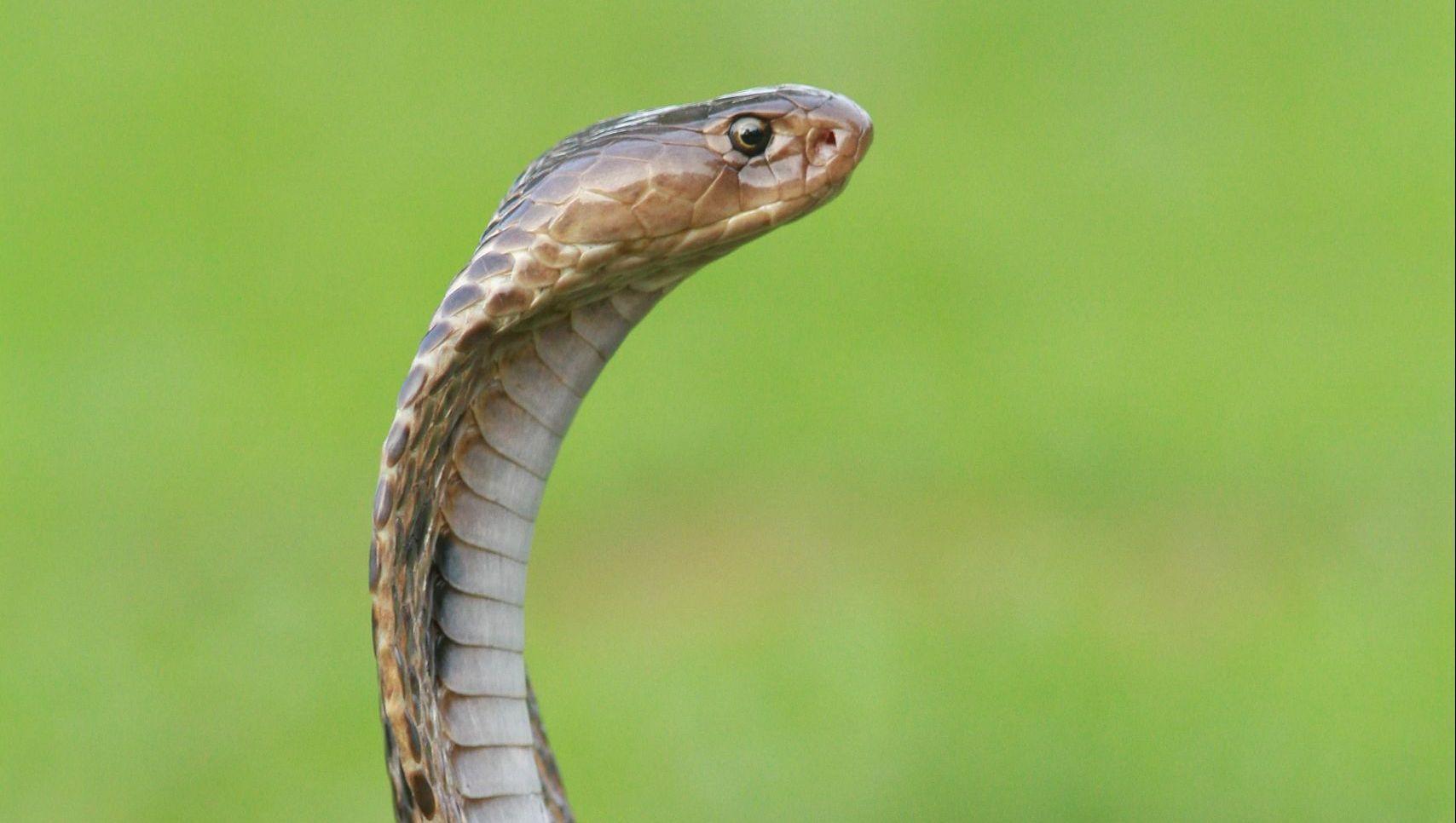 king-cobra-fact-sheet