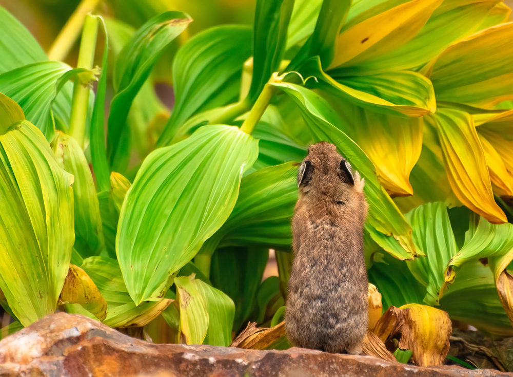 photographing-pikas:-a-life-above-the-clouds