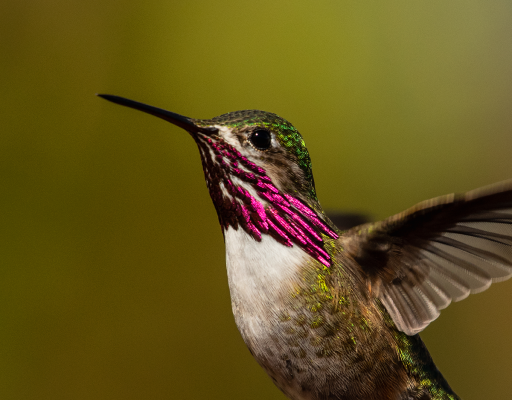 meet-north-america's-smallest-bird:-the-calliope-hummingbird